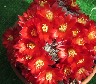 Rebutia heliosa from Tony