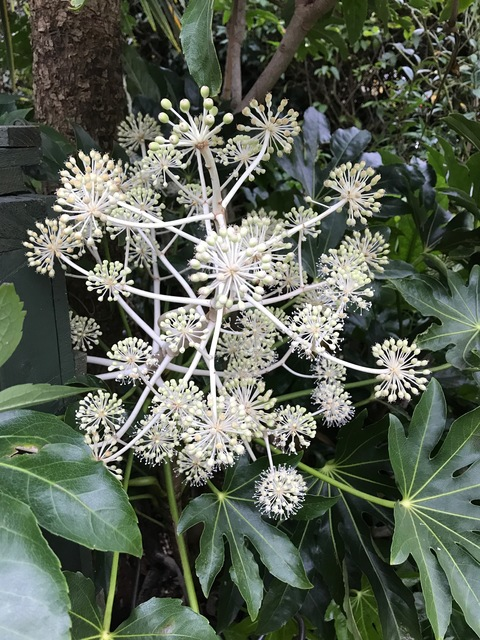 Castor oil plant with its winter flowers from Maria