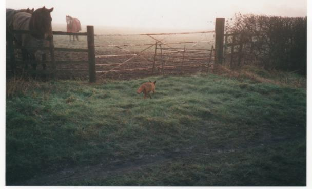 Fox spotted on Millennium morning down on the moors