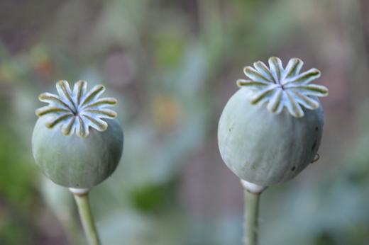 Bradmore poppies.