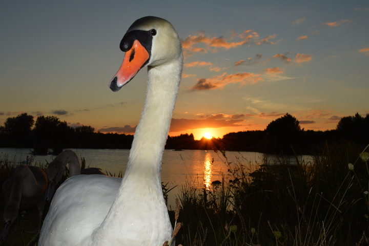 Swan at sunset in Rushcliffe Country Park
