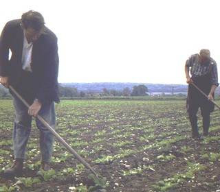 Frank and Ernest Randall chopping out Sugar Beet 31.05.74