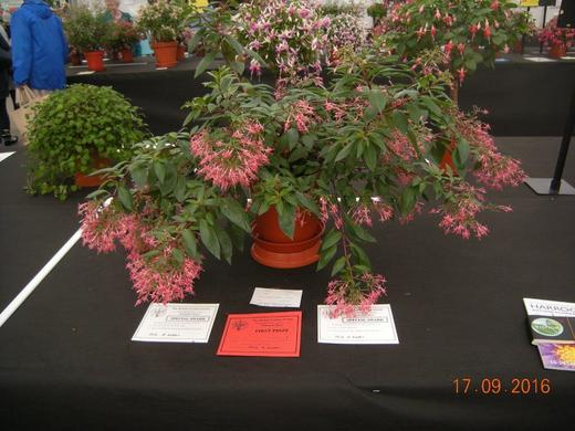 Fuchsia Wapenvelds Bloei