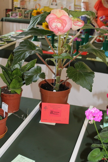Winning Double Tuberous Rooted Begonia  Fiona Ramsey
