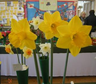 Daffodil St. Keverne Exhibited by Steve Studham