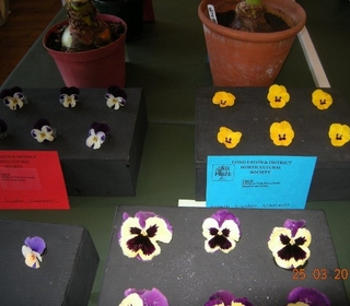 Selection of Viola Heads