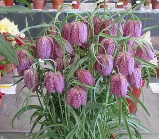 Fritillaria meleagris  saturnus