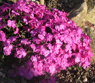 Phlox subulata species