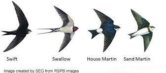 swiftswallow