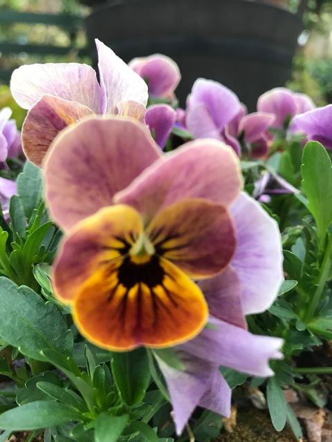 Viola from Maria