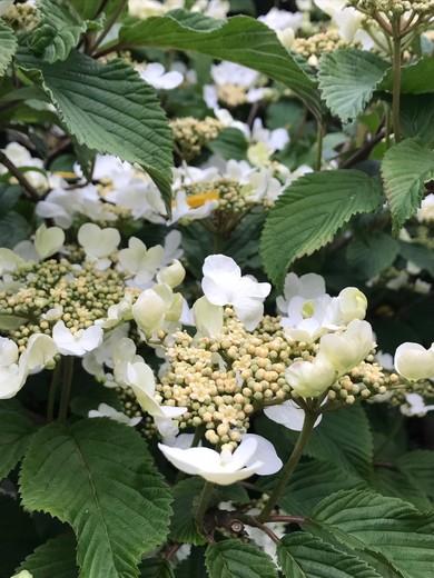 Viburnum Mariesii  from Maria