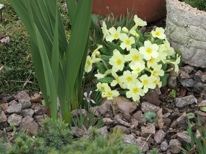 Primula Vulgaris from Tony