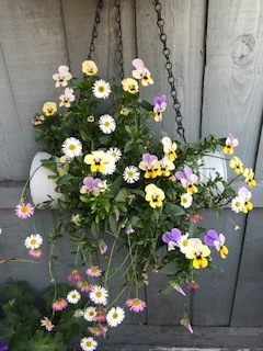 Violas from Maria