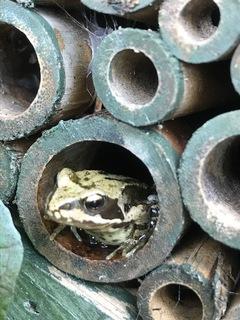 froglet4