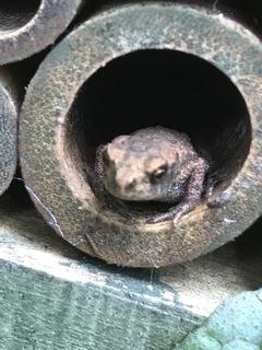 froglet5