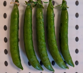 Peas from Dan (Long Eaton)