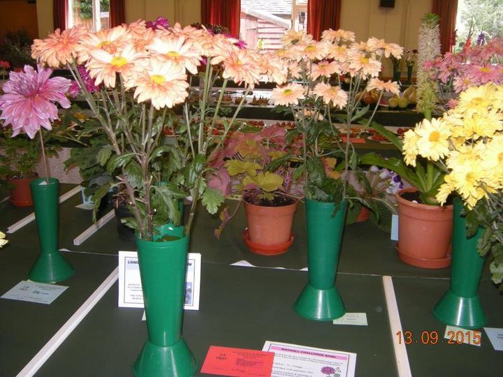 Spray Chrysanthemums Exhibited by Mick Hogg