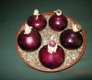 Onion Red Baron from Lyndon (Long Eaton)