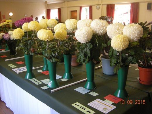 Incurved Chrysanthemums Exhibited by Shaun Edwards