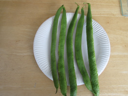 Five Runner Beans from Tony (Long Eaton)
