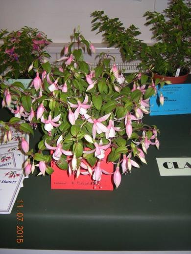 Fuchsia Exhibited by Brian Pinfield