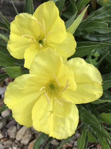 Stunning Evening Primrose flowers from Maria