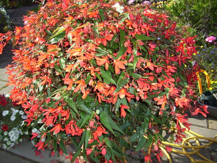 Santa Cruz hanging begonia from Pat and Ken