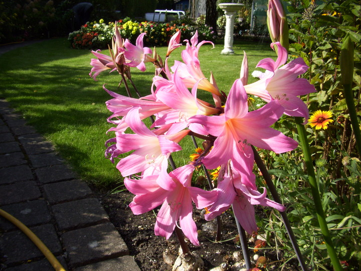 Amaryllis belladonna (Jersey Lily) from Pat and Ken
