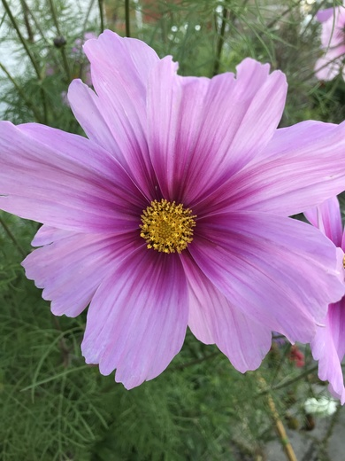 Cosmos was a self seeder from last year and has just decided to flower - bizarre, from Maria