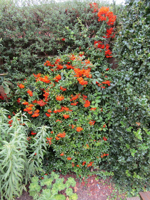 The birds have started on the Red Pyracantha but these orange ones are not touched yet - from Charles