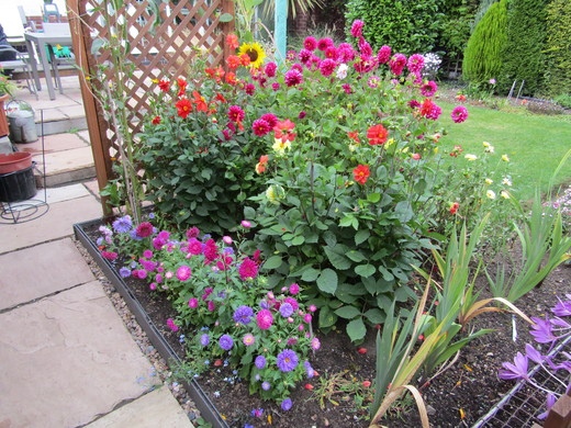 Asters and Dahlias are doing well - from Charles