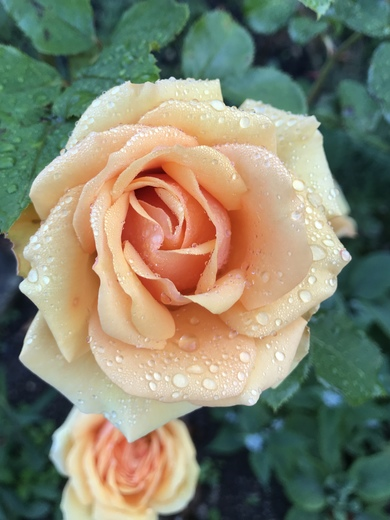 A rose still in bloom with little droplets of rain - looks beautiful from Jenny